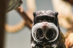 Closeup portrait of an emperor tamarin saguinus imperator. Stuttgart zoo germany Royalty Free Stock Images