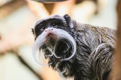 Closeup portrait of an emperor tamarin saguinus imperator. Stuttgart zoo germany Stock Photos