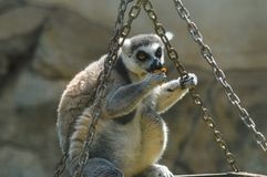 Closeup portrait of an enadangered cute ring tailed Lemur l Lemu royalty free stock image