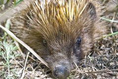 Closeup portrait of an european hedgehog Stock Images
