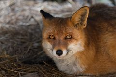 European red fox vulpes vulpes closeup portrait, wildlife royalty free stock photography