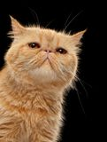 Closeup Portrait of Exotic ginger shorthair cat on Black Stock Photography