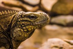 Closeup portrait of the face of a cuban rock iguana, tropical and vulnerable lizard specie from the coast of Cuba. A closeup portrait of the face of a cuban rock stock images