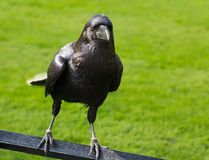 Closeup portrait of famous black raven of the Tower of London, UK on the green grass background looking at the camera royalty free stock image