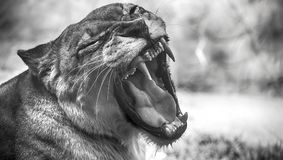 Closeup portrait of a female african lion. Roaring female lion portrait in black and white Royalty Free Stock Photos