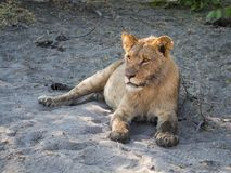 Closeup portrait of female lion laying at sandy beach of Chobe River after morning hunt, Chobe NP, Botswana, Africa Royalty Free Stock Photo