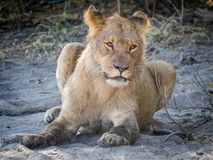 Closeup portrait of female lion laying at sandy beach of Chobe River after morning hunt, Chobe NP, Botswana, Africa Royalty Free Stock Photos