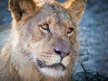 Closeup portrait of female lion laying at sandy beach of Chobe River after morning hunt, Chobe NP, Botswana, Africa Royalty Free Stock Images