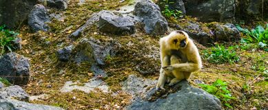 Closeup portrait of a female yellow cheeked gibbon sitting on a rock, tropical ape, Endangered animal specie from Asia stock photo