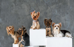 Closeup Portrait of five Happy Yorkshire Terrier Dog on grey background. royalty free stock images