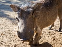 Closeup portrait of friendly warthog kneeling on sandy ground near Chobe National Park, Botswana, Africa.  Royalty Free Stock Photos