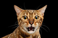 Closeup Portrait frightened Bengal Cat Face on Isolated Black Background Stock Photos