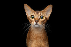 Closeup Portrait of Funny Abyssinian Cat isolated on black royalty free stock image