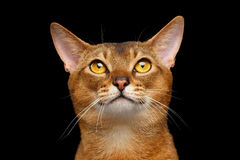 Closeup Portrait of Funny Abyssinian cat Looking Up. On black background royalty free stock photography