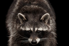 Closeup Portrait Funny Raccoon isolated on Black Background Stock Photo