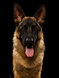 Closeup Portrait of German Shepherd on Black Royalty Free Stock Photography