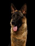 Closeup Portrait of German Shepherd on Black Stock Photo