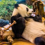Closeup portrait of a giant panda bear relaxing, Vulnerable animal specie from Asia stock photos