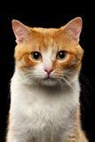 Closeup Portrait of Ginger Cat on Black Stock Photos