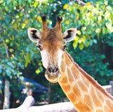 Closeup portrait of giraffe Royalty Free Stock Image