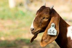 Closeup portrait of a goat in farm Stock Images