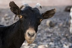 Closeup portrait of goat standing in Arta, Djibouti. East Africa Royalty Free Stock Image