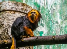 Closeup portrait of a golden headed tamarin, tropical monkey from brazil, Enadangered animal specie stock image