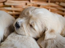 Closeup portrait of a golden retriever puppy new born sleeping in a wicker basket royalty free stock images