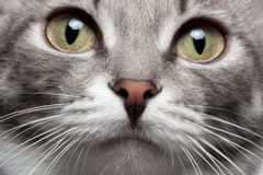 Close-up portrait gray cat with red nose. And yellow eyes Stock Images