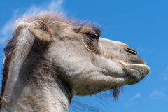 Closeup portrait of a grouchy male camel looking really sour. Closeup portrait of a gray and grouchy male camel, looking really sour. Low angle view with blue Royalty Free Stock Photos