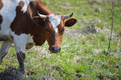 Closeup portrait of grazing brown and white cow.  Royalty Free Stock Images