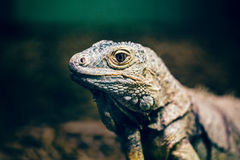 Closeup portrait of green American common iguana in zoo Stock Photo