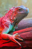 Closeup Portrait Of A Green Iguana (Iguana iguana). Near red warm lamp Stock Image