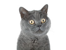 Closeup portrait of a grey cat Stock Images
