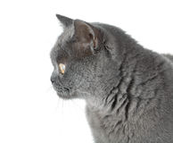 Closeup portrait of a grey cat Royalty Free Stock Images