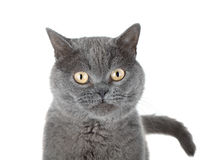 Closeup portrait of a grey cat Royalty Free Stock Photography