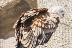 Closeup portrait of Griffon Vulture, Gyps Fulvus Royalty Free Stock Image