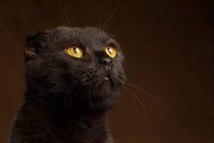 Closeup portrait of Grumpy Black Cat Stock Photos