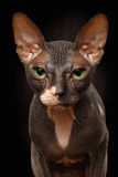 Closeup Portrait of Grumpy Sphynx Cat Front view on Black Stock Photo