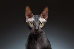 Closeup Portrait of Grumpy Sphynx Cat Front view on Black Stock Photos