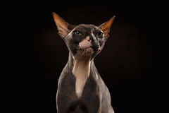 Closeup Portrait of Grumpy Sphynx Cat Front view on Black Stock Images
