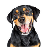Closeup Portrait Happy Rottweiler Crossbreed Dog Royalty Free Stock Images
