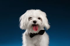 Closeup Portrait Happy White Maltese Dog Looking in Camera isolated. Closeup Portrait of Happy White Maltese Dog Looking in Camera isolated on blue background Stock Image