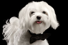 Closeup Portrait Happy White Maltese Dog Looking in Camera isolated. Closeup Portrait of Happy White Maltese Dog with bow Looking in Camera isolated on Black Stock Photo