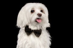 Closeup Portrait Happy White Maltese Dog Looking in Camera isolated. Closeup Portrait of Happy White Maltese Dog with bow Looking in Camera isolated on Black Stock Images