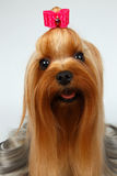 Closeup Portrait of Happy Yorkshire Terrier Dog on White Stock Photo