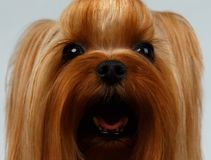 Closeup Portrait of Happy Yorkshire Terrier Dog on White Stock Image