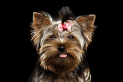 Closeup Portrait Happy Yorkshire Terrier Puppy Showing tongue, Isolated Black Stock Image