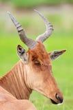 Closeup portrait of hartebeest antelope Stock Images
