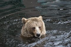 Closeup portrait of the head adult brown bear swimming in the dark water. Ursus arctos beringianus. Kamchatka bear. stock photos